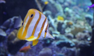Copperband Fish