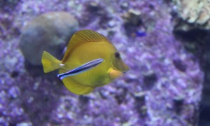 Yellow Tang Fish with Cleaner Wrasse