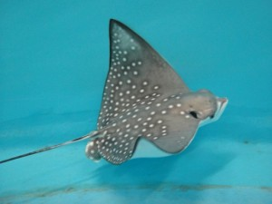 Baby Spotted Eagle Ray born in The Ambassador Lagoon at The Lost Chambers Aquarium