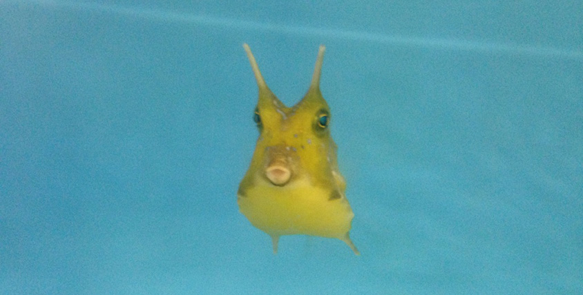 Longhorn Cowfish -The Lost Chambers Aquarium
