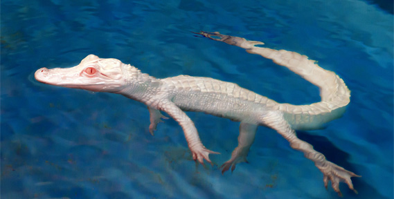 Albino Alligators - The Lost Chambers Aquarium